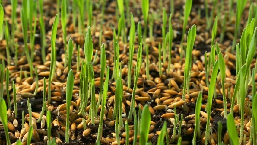 Ամեն ինչ ծլեցրած ցորենի մասին ՝ բաղադրատոմսեր, գաղտնիքներ, առողջություն