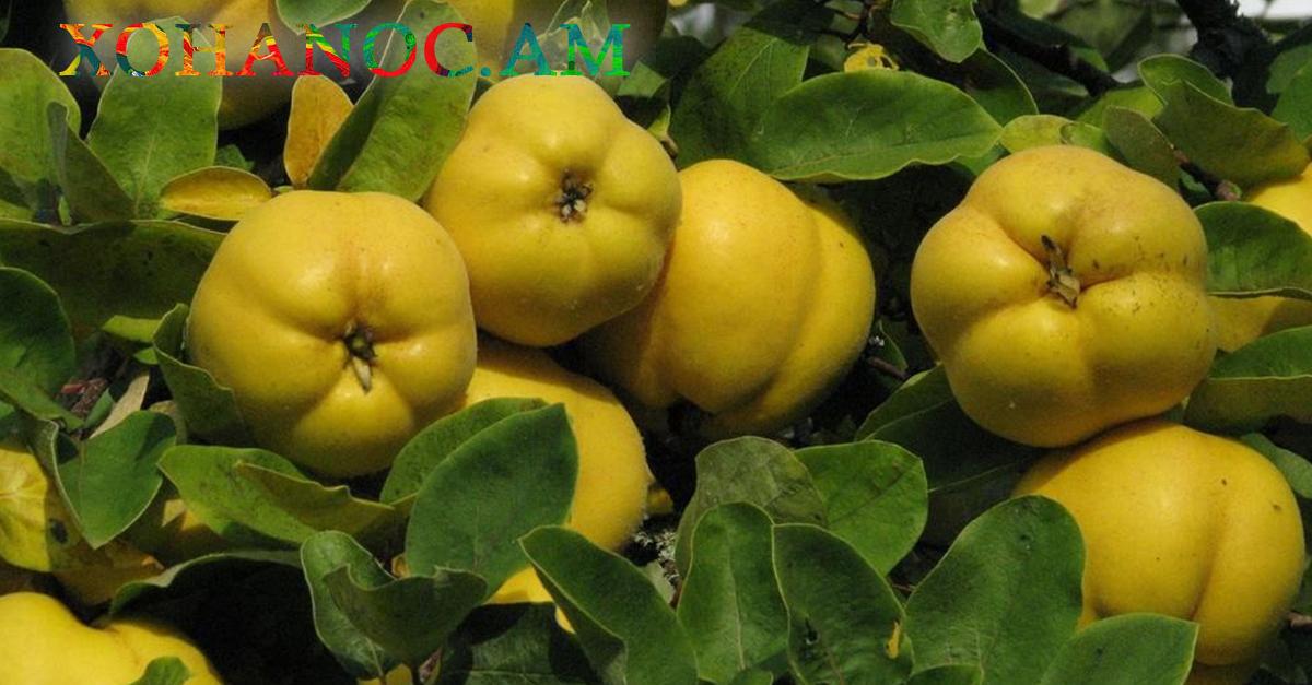 Սերկևիլը մի հրաշք միրգ է, որը օգնում է մի շարք հիվանդությունների դեպքում և համարվում է հզոր միջոց