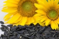 Եթե արևածաղկի սերմեր շատ եք օգտագործում, ուրեմն զգուշացեք․ Ահա թե ինչու․ Դիտեք տեսանյութը